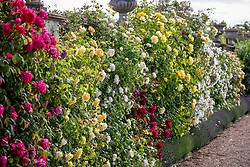 Roses on the lower terrace at Bowood House. Left to right: Rosa Benjamin Britten = 'Ausencart', R. Teasing Georgia = 'Ausbaker', R. 'Claire Austin', R. 'Tess of the d'Urbervilles = 'Ausmove', R. 'Golden Gate' and R. Rosa Kew Gardens = 'Ausfence'.
