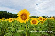 63801-11112 Sunflowers in field Jasper Co.  IL