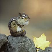Eastern Chipmunk (Tamias striatus) cheeks and tail plump with seeds. Fall in Minnesota