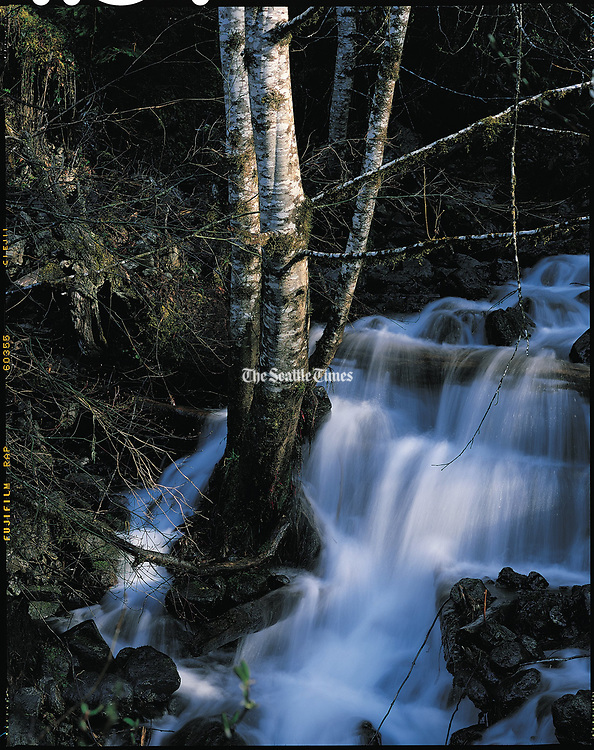 A clump of alders survives the soggy ground in the middle of a stream that feeds the Dosewallips River on the Olympic Peninsula.(Harley Soltes / The Seattle Times, 1998)