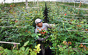Photo by Mara Lavitt <br /> February 4, 2015 Guilford, CT<br /> Roses for Autism grows and sells flowers (800,000 stems a year) while providing job training for those on the autism spectrum. Staff member Hipolito Solis of Hamden walks amidst 26,000 rose plants and cuts roses for the days needs.