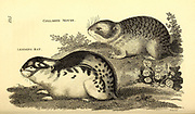 Various mice from General zoology, or, Systematic natural history Vol 2 Mammalia, by Shaw, George, 1751-1813; Stephens, James Francis, 1792-1853; Heath, Charles, 1785-1848, engraver; Griffith, Mrs., engraver; Chappelow. Copperplate Printed in London in 1801 by G. Kearsley