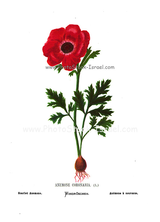 Scarlet poppy anemone, Anemone coronaria. From the book Wild flowers of the Holy Land: Fifty-Four Plates Printed In Colours, Drawn And Painted After Nature. by Mrs. Hannah Zeller, (Gobat); Tristram, H. B. (Henry Baker), and Edward Atkinson, Published in London by James Nisbet & Co 1876 on white background