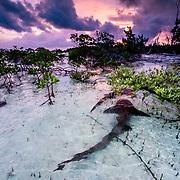 Three nurse sharks (Ginglymostoma cirratum) in a courtship dance at sunrise in a mangrove area near Eleuthera, Bahamas.