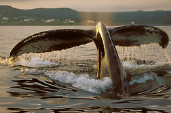 A humbpack whale shows its fluke at sunset in St. John, Newfoundland.