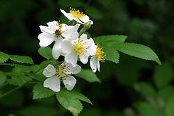 Flowering woodland plant