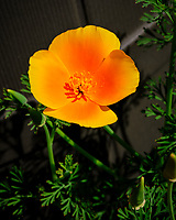 Yellow California Poppy Flower. Image taken with a Fuji X-T3 camera and 80 mm f/2.8 macro OIS lens (ISO 160, 80 mm, f/11, 1/480 sec).