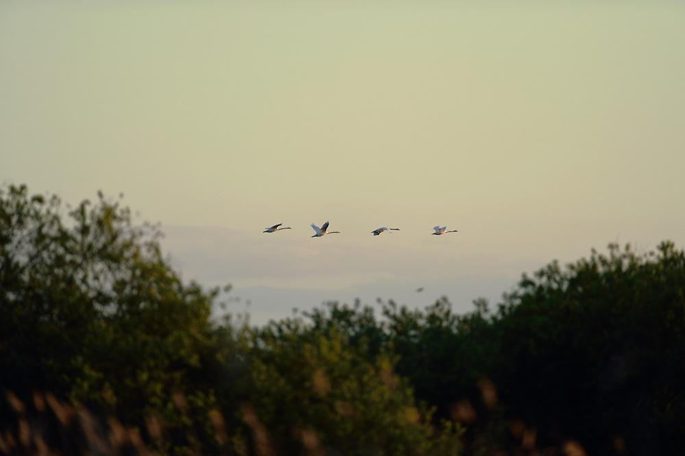 Mute swans, Cygnus olor, flying over Peene river, Anklam, Germany