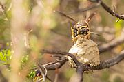 Heath potter wasp (Eumenes coarctatus) laying egg in finished nest pot. Surrey, UK.