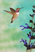 Calliope Hummingbird, Stellula calliope Male flying at Salvia, Salvia guaranitica Birds animals wildlife birds hummingbird  Sunset New Mexico United States flight high speed photographic technique
