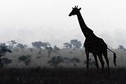 A Maasai giraffe,  Giraffa camelopardalis tippelskirchi, walking in the early morning mist.