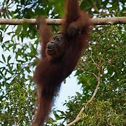 An orangutan in Puting National Park. Central Kalimantan region, Borneo.