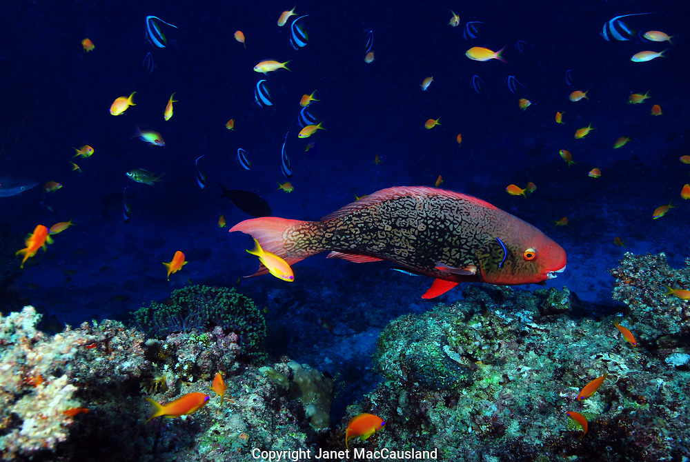 A Parrotfish (Scarus rubroviolaceus) is being cleaned by small wrasse.