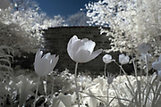 Tulips pop behind Pavilion V at the University of Virginia in Charlottesville, Va. Photo/Andrew Shurtleff Photography, LLC