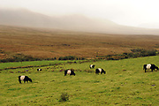Cows graze in a field under misty mountains in Annascaul, County kerry Ireland today. Photo: Don MacMonagle <br /> e: info@macmonagle.com