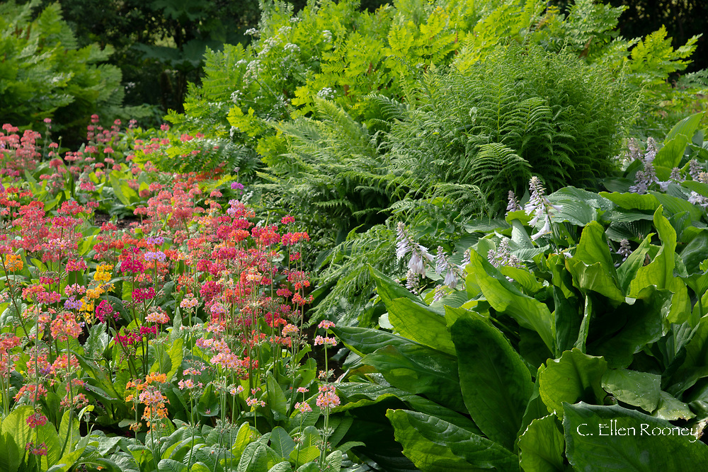 Primula candelabra, multi-coloured Primulas and Hostas in the bog garden at Forde Abbey, Chard, Dorset, UK