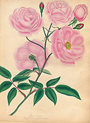 ROSA indica, Indian Rose From the book Roses, or, A monograph of the genus Rosa : containing coloured figures of all the known species and beautiful varieties, drawn, engraved, described, and coloured, from living plants. by Andrews, Henry Charles, Published in London : printed by R. Taylor and Co. ; 1805.