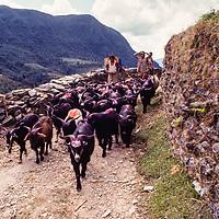 A herd of goats crowds a trail near Ghandrung, Nepal