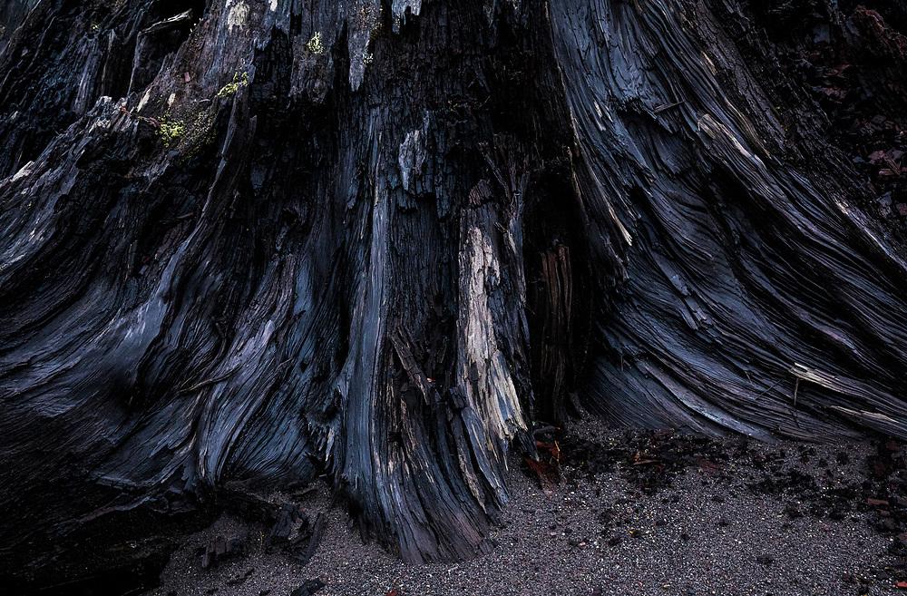 Tree stump detail along the banks of the Nisqually river, Mount Rainier National Park boundary, Washington, USA.