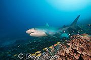large female tiger shark, Galeocerdo cuvier, swims over coral reef slope populated by blueline snappers, damselfish, and hawkfish, Honokohau, Kona, Big Island, Hawaii, USA ( Central Pacific Ocean )
