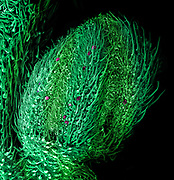The male flower of the cannabis plant (Cannabis sativa) imaged by a scanning electron microscope. The field of view is 3 mm wide.