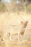 Lions in the extreme heat of Waza National Park, in the north of Cameroon