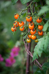 Tomato 'Sungold' growing on a teepee in the vegetable garden