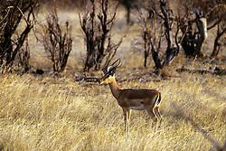 Grants Gazelle, Hwange Natl. Park