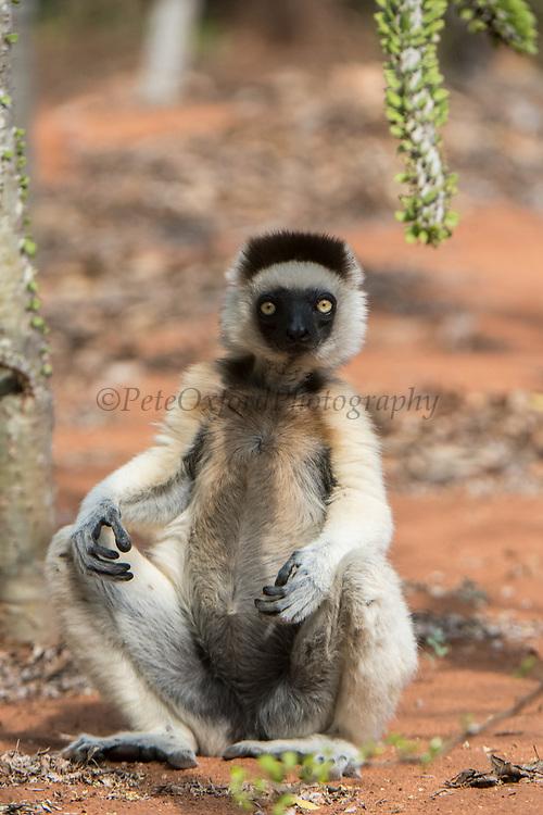 Verreaux's sifaka (Propithecus verreauxi)<br /> Berenty<br /> South Madagascar<br /> MADAGASCAR<br /> ENDEMIC<br /> Endangered
