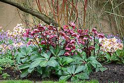 Helleborus Rodney Davey Marbled Group 'Penny's Pink' under Cornus stems in John Massey's garden at Ashwood Nurseries