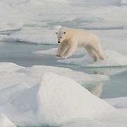 Polar bear (Ursus maritimus) jumping across ice in Svalbard, Norway.
