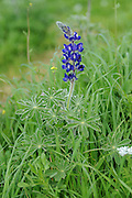 Blue lupin - Lupinus pilosus, Photographed in Israel in March