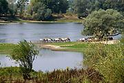 Nederland, Ooijpolder, 12-8-2020 Bij de Waal . Aan een strang bij de millingerwaard graast een kudde wilde paarden, konikpaarden, koniks . Foto: ANP/ Hollandse Hoogte/ Flip Franssen