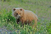 Grizzly bear (Ursus arctos horribilis) along the Alaska Highway<br />
