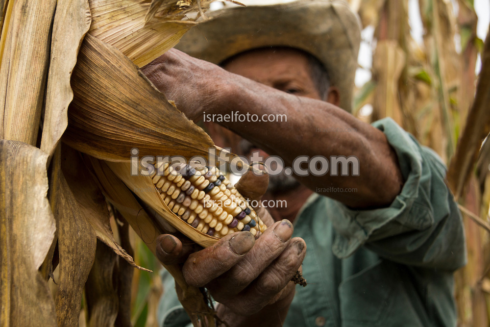 Farmer harvesting corn in Tultepec, Mexico. / Campesino cosechando en Tultpec, México.