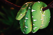 Emerald Tree Boa<br /> Corallus caninus<br /> Amazon Rain Forest, ECUADOR   South America