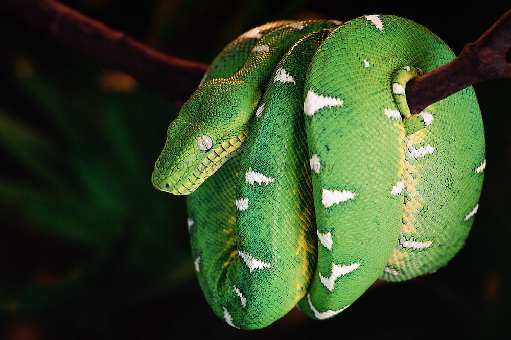 Emerald Tree Boa<br /> Corallus caninus<br /> Amazon Rain Forest, ECUADOR   South America