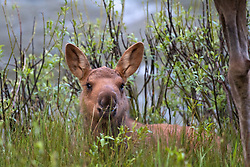 Moose Calf, Yellowstone National Park.  This cute young moose posed for me for several minutes. It was a good day.