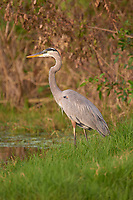 Arthur R. Marshall Loxahatchee National Wildlife Reserve, Wellington, Florida, USA. Great Blue Heron (Ardea herodias)
