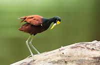 Northern Jacana, Jacana spinosa, stands on a log in the Tortuguero River (Rio Tortuguero) in Tortuguero National Park, Costa Rica