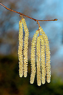 HAZEL Corylus avellana (Betulaceae) Height to 12m<br /> Dense woodland shrub or small tree that is often coppiced. FLOWERS are catkins (male) and small red, tufted structures (female) (Jan-Mar). FRUITS are hard-cased nuts, green at first, ripening brown in autumn. LEAVES appear after flowers and are 6-8cm long, circular to oval, with double-toothed margins. STATUS-Common and widespread.