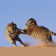 Tigers on coral sand dunes. Captive Animal  ***NON EDITORIAL USE ONLY***