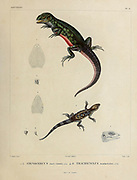 Stenocercus [Here as Stenocercus rosei-ventris] is a genus of South American lizards, commonly called whorltail iguanas, (Top) and Stenocercus marmoratus [Here as Trachycyclus marmoratus] hand coloured sketch From the book 'Voyage dans l'Amérique Méridionale' [Journey to South America: (Brazil, the eastern republic of Uruguay, the Argentine Republic, Patagonia, the republic of Chile, the republic of Bolivia, the republic of Peru), executed during the years 1826 - 1833] Volume 5 Part 1 By: Orbigny, Alcide Dessalines d', d'Orbigny, 1802-1857; Montagne, Jean François Camille, 1784-1866; Martius, Karl Friedrich Philipp von, 1794-1868 Published Paris :Chez Pitois-Levrault. Publishes in Paris in 1847