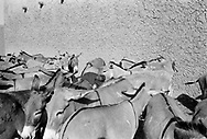 NIGER. Ayorou. 15/12/1985: Donkeys warming up in the sun on market day. They belong to members of the Bella tribe, former slaves of the Touaregs.