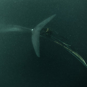 This is an adult pygmy blue whale entangled in a fishing net. The net was wrapped around the base of the whale's fluke, with substantial net and rope trailing behind. Rope stretched up both sides of the whale and appeared to be caught in the whale's mouth. I came across this whale in shallow, green, murky water, approximately 60 meters depth. The whale was still able to swim, though it appeared exhausted. It did not fluke, and the netting was not visible from the surface. Sadly, this whale most likely died shortly after this encounter.