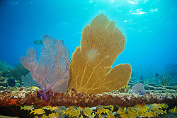 Venus or Bahamian Sea Fans, Gorgonia flabellum, showing lavender or purple and yellow or gold variation, gorwing on Sugar Wreck, the remains of an old sailing ship that grounded many years ago, West End, Grand Bahamas, Caribbean, Atlantic Ocean