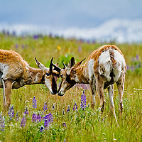 Young pronghorn bucks begin spring training among the June bloom of lupine at the National Bison Range.