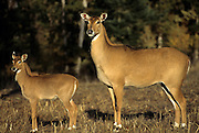 Adult female Nilgai (Boselaphus tragocamelus) with nine week old calf. Range: Pakistan and India. Captive.