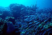UNDERWATER MARINE LIFE CARIBBEAN, Bonaire FISH: Schooling mullet