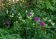 Allium 'Purple Sensation' and Astrantia major in a border, Blenheim Road Garden, London, UK